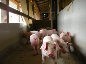 北海道北部の大自然の中、SPF認定農場での養豚に携わってみませんか?☆年間休日105日・寮あり☆