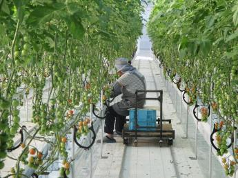 ミニトマトの収穫スタッフ募集! フルタイムでも短時間でも。ライフスタイルに合わせてお勤めいただけるのが魅力♪