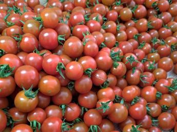 ◎7月末頃まで◎ ミニトマトの収穫、栽培管理、パック詰め等のお手伝いをお願いします!未経験の方も大歓迎!フルタイムでもパートタイムでもOK!
